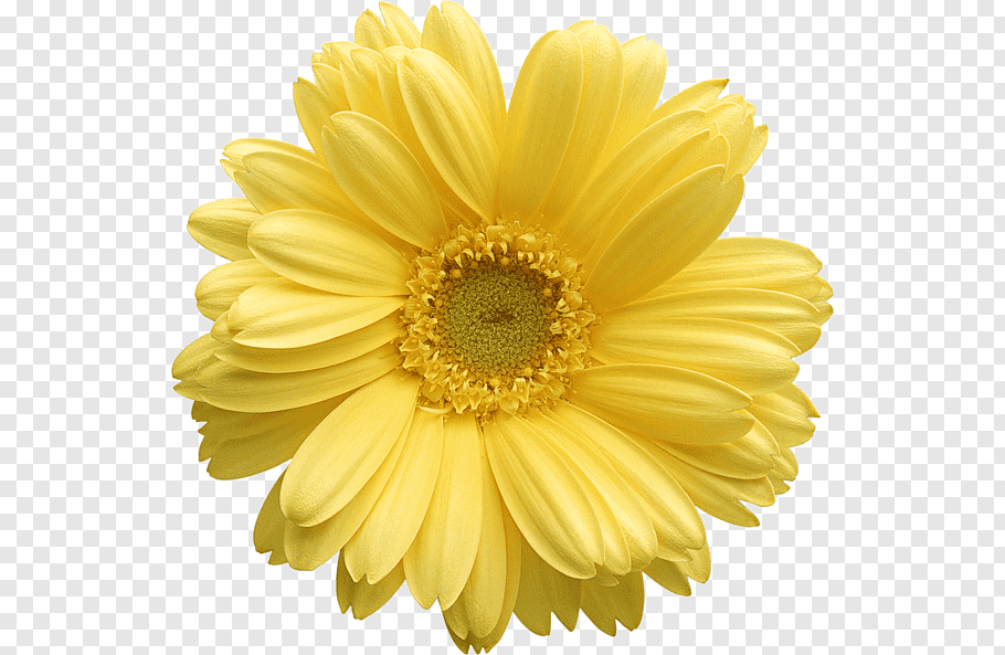 Flower Yellow Daisy Flower Png In 2020 Yellow Daisy Flower Flower Png Images Oil Painting Flowers