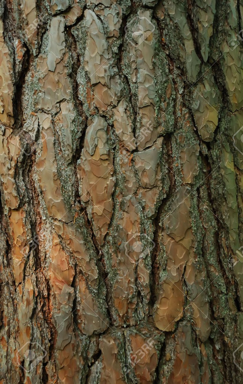 Pine Tree Bark With Lichen Texture Tree Bark Pine Tree Tree Study