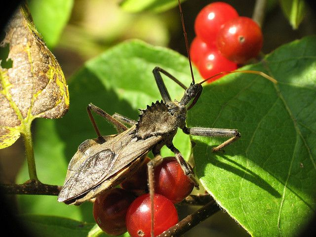 Here Is A Wheel Bug Amid Red Berries Thank You Mean And Pinchy Http Www Flickr Com Photos Meanandpinchy Hering