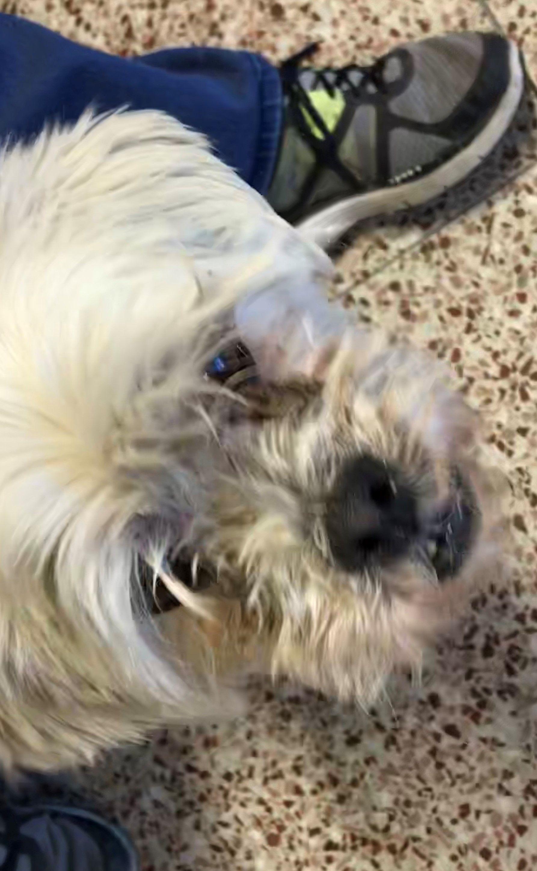 Lhasa Apso Dog For Adoption In Seattle Wa Adn 745775 On
