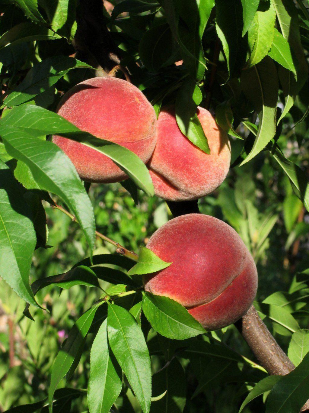 Have You Been Wondering How To Grow A Peach Tree From Seed Look No Further From Planting To Harvesting G Growing Fruit Trees Peach Trees Growing Peach Trees
