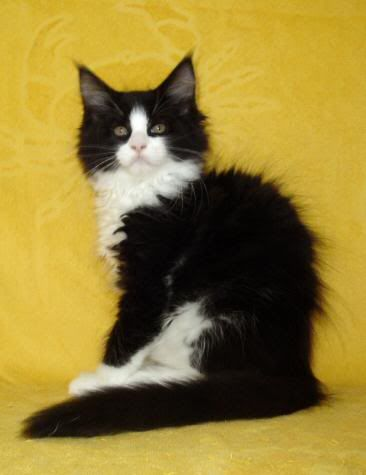 Tuxedo Black And White Maine Coon Cat : tuxedo, black, white, maine, Cat's,kitten's,, Kitta's