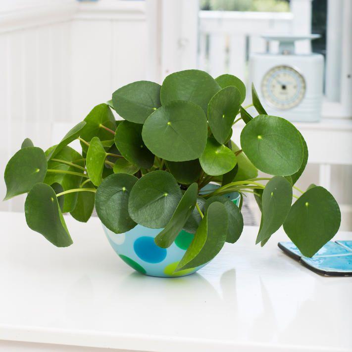 Ufopflanze indoor pflanz und pflegetipps f r for Ausgefallene zimmerpflanzen