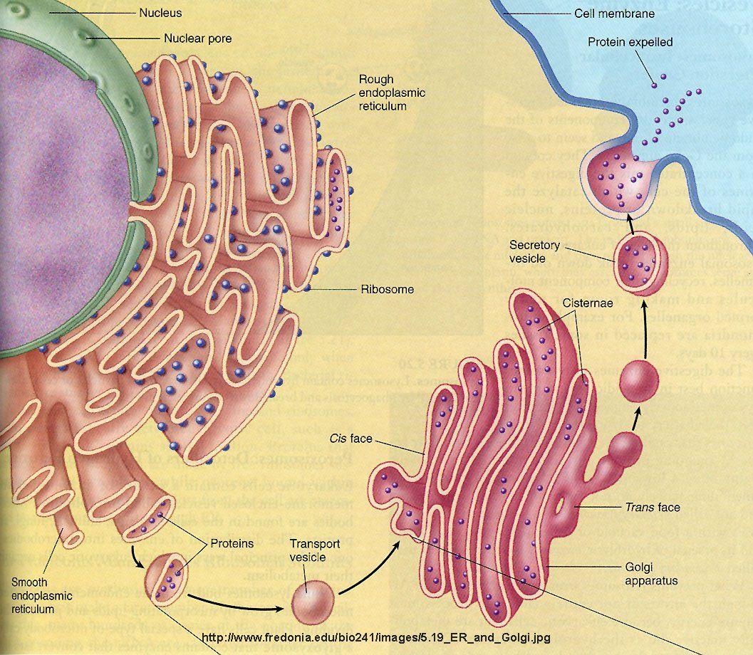 endoplasmic reticulum and golgi bodies