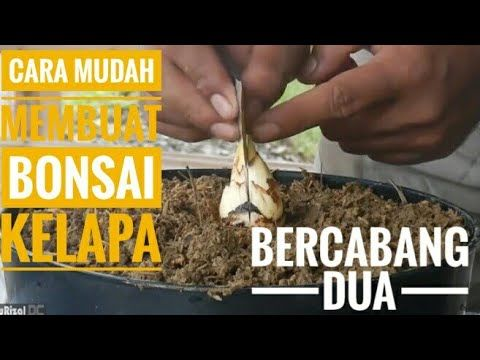 Cara Mudah Membuat Bonsai Kelapa Bercabang Dua Easy Ways To