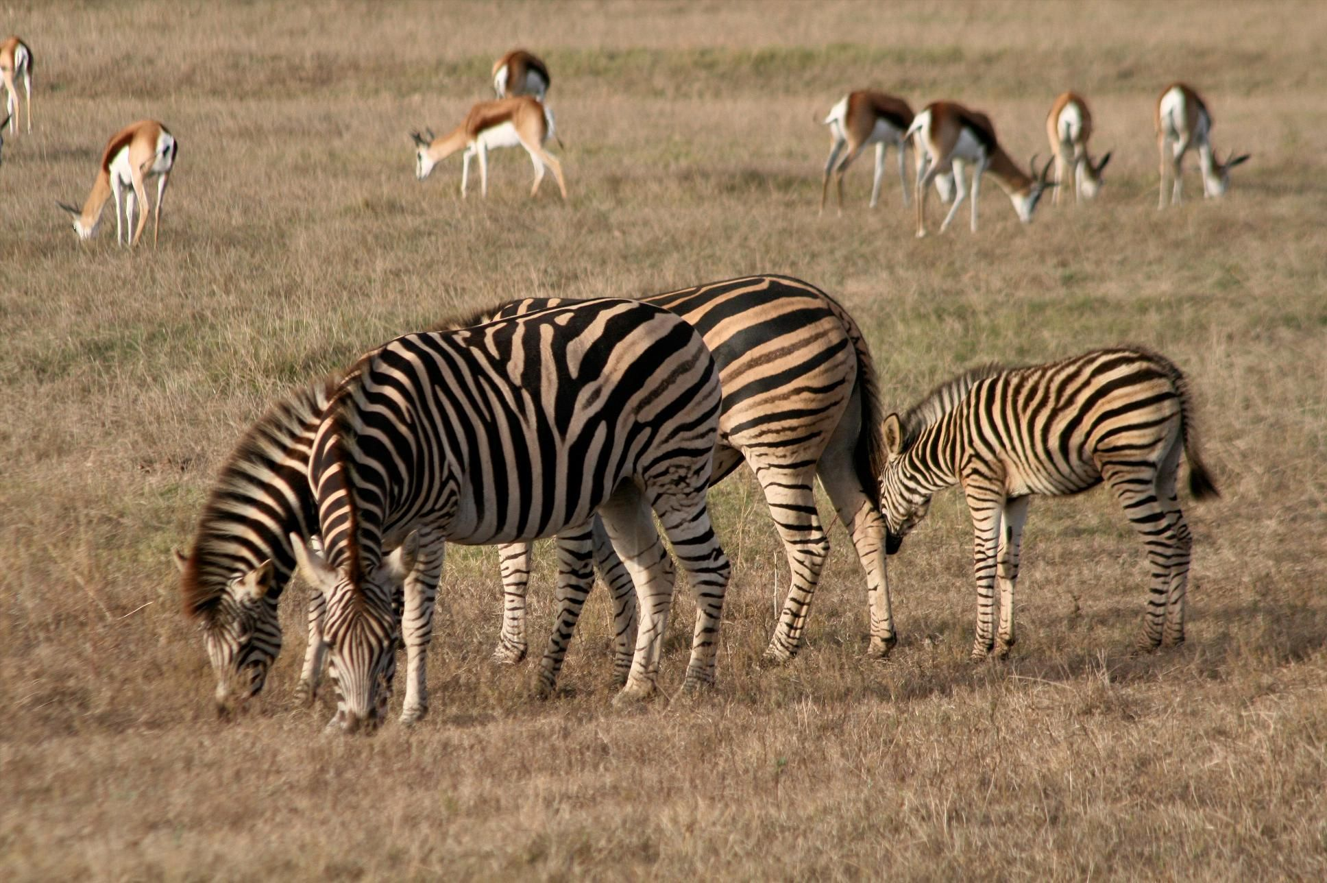 Zebra and Springbok, Garden Route Game Lodge, South Africa