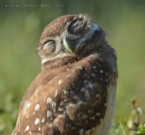 http://www.owlpages.com/  Susan Faulkner Davis PhotographyThe Owl Pages   Florida Burrowing Owlet  Cooper City, Florida  https://www.facebook.com/owlpages