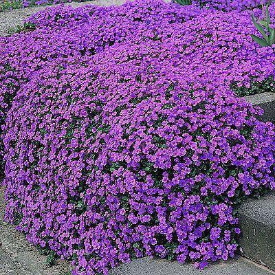100 Purple Rock Cress Groundcover Seeds Cascading Perrenial Wildflower Flower Seeds Hardy Perennials Flowers Perennials