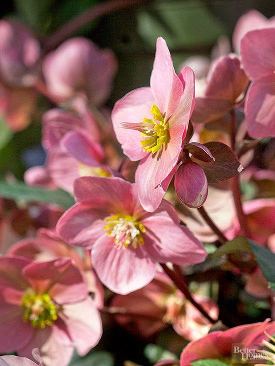 These perennials grow in tough soil and weather conditions, so you don't have to worry about your flower garden being ruined by Mother Nature! Perennials are an excellent choice of bloom for a first time gardener or for regions with tough weather and dry soil.