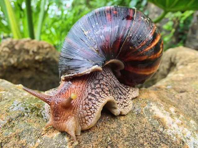 Here's How You Can Get Meningitis From A Snail - Biology, Microbiology, Medicine