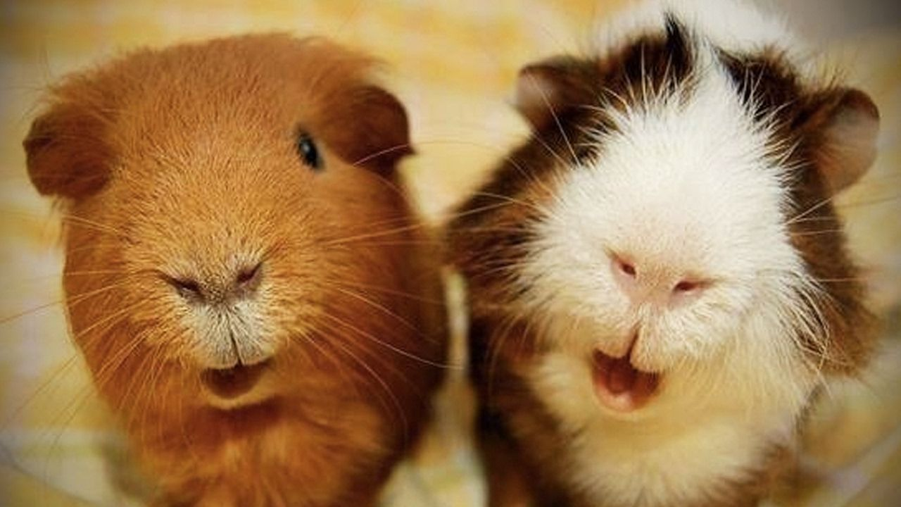 Cute Guinea Pigs Playing  Funny Pets [Fun with Animals]