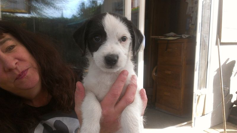 8 week old Jack Russell puppy!If you'd like to apply for me, or any of my rescues other dogs, please email info@labsandfriends.org to request an application or go to their website at www.labsandfriends.org and download and fill one out. They can be...