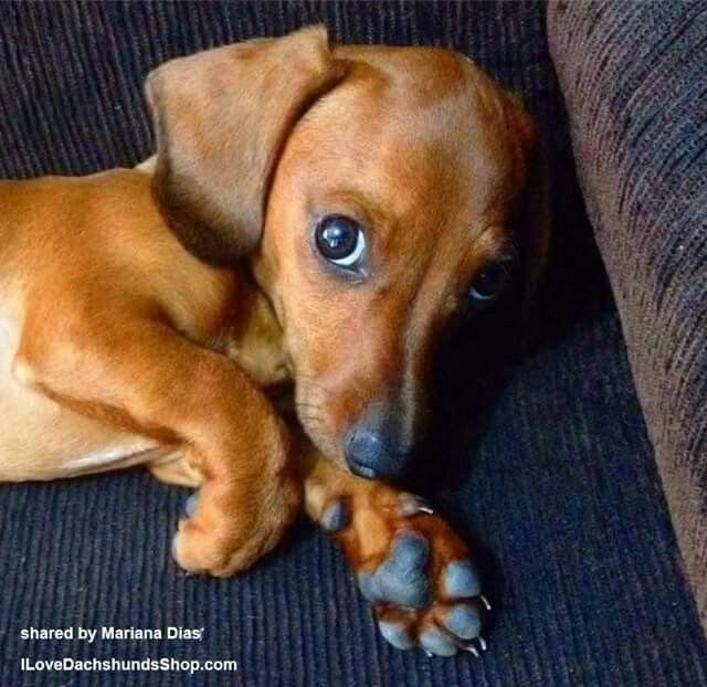 Those Eyes Cute Little Dogs Dachshund Love Weenie Dogs