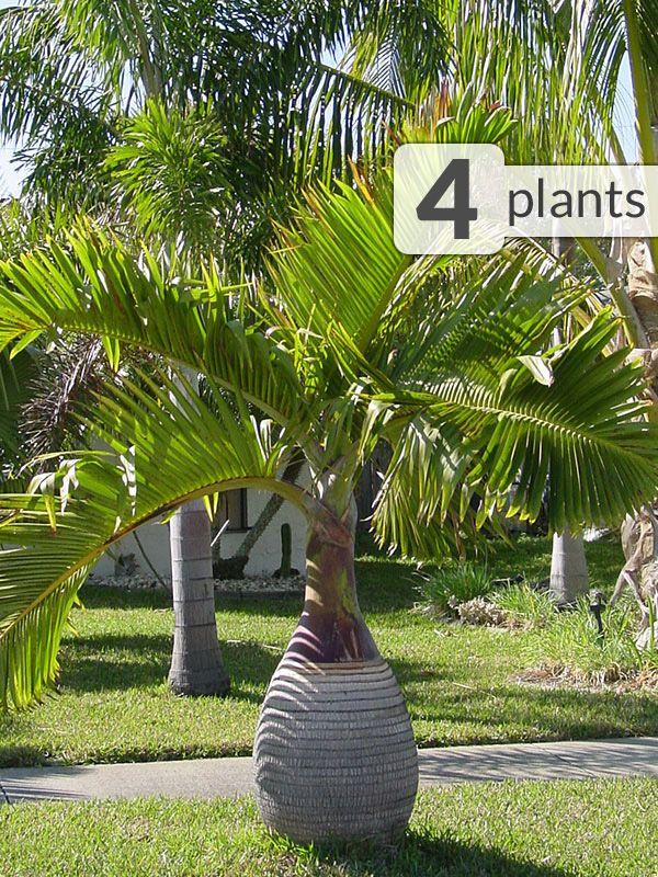 4 Bottle Palm Trees Hyophorbe Tropical Patio Pkg Small Palm Trees Bottle Palm Tree Tropical Landscaping