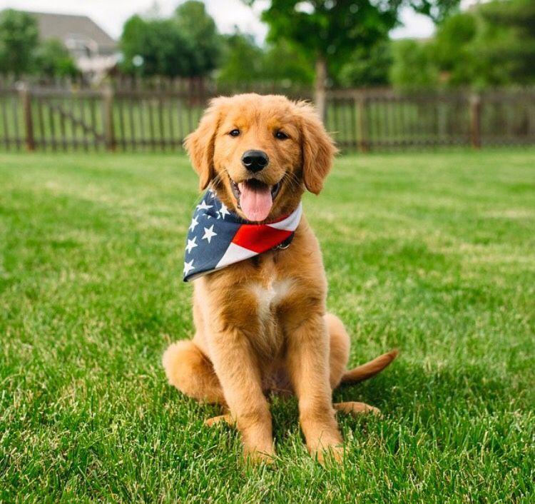 Patriotic Golden Puppy Dogs Golden Retriever Golden Puppy