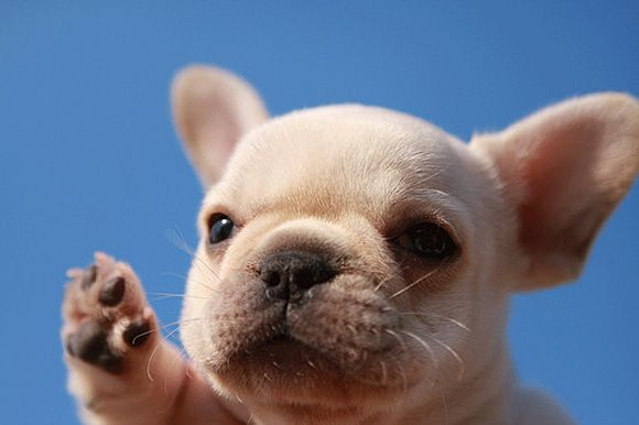 adorable!!    I'm not getting another dog but if I did...this would be the one.  french bulldog.