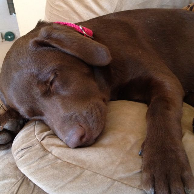 Exhausted With Images Chocolate Lab Puppies Labrador Dog Lab Puppies