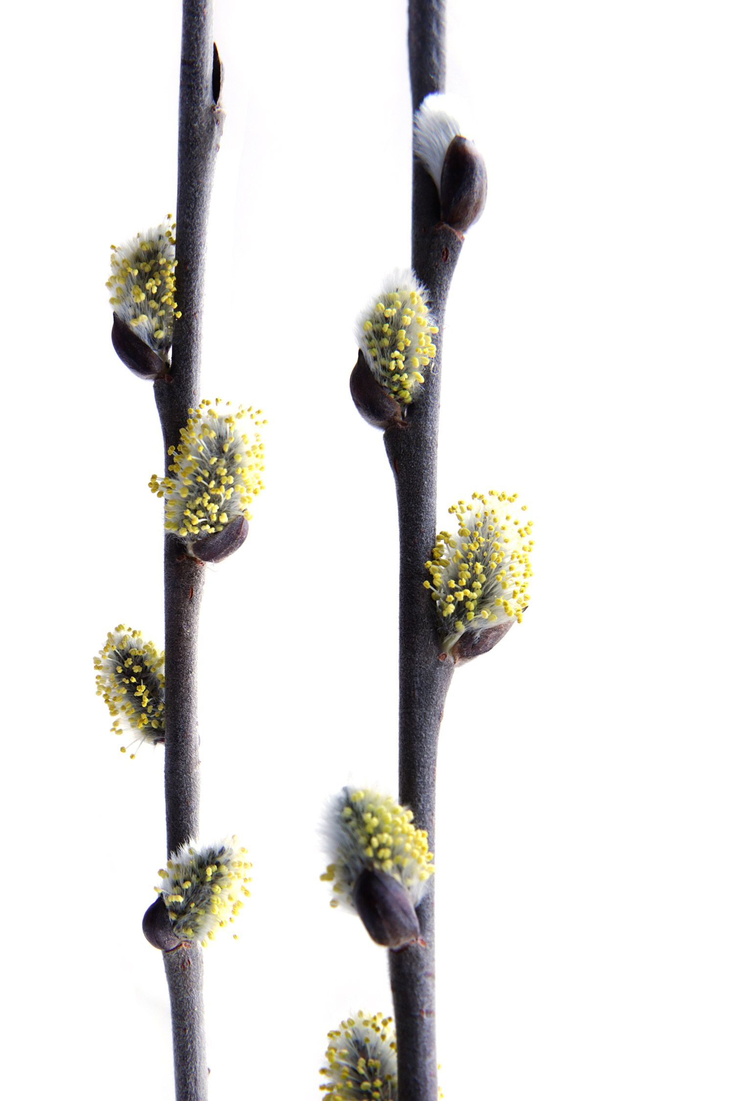 pussy-willow-with-pollen