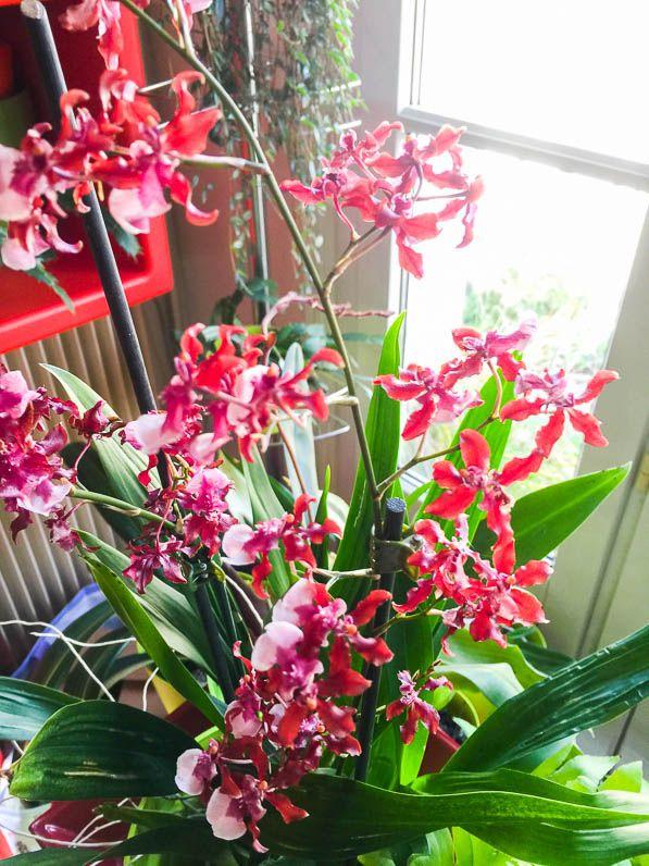 Oncidium sharry baby sweet fragrance oncidium sharry baby 39 sweet fragrance 39 orchid e plante - Arrosage orchidee d interieur ...