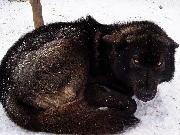 German Shepherd Siberian Husky Mix Picture - Dog Breeders ...  |Black Siberian Husky Wolf Mix