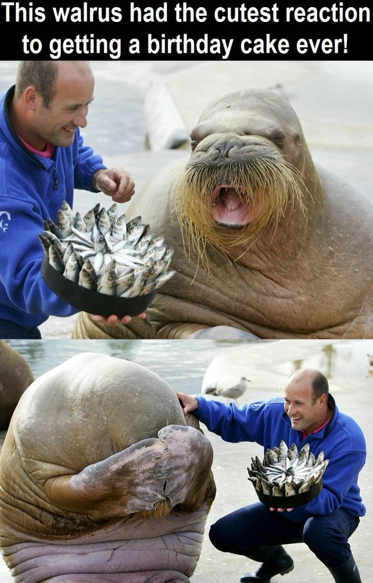 Walrus Reaction After Getting A Birthday Cake Made Out Of Fish So