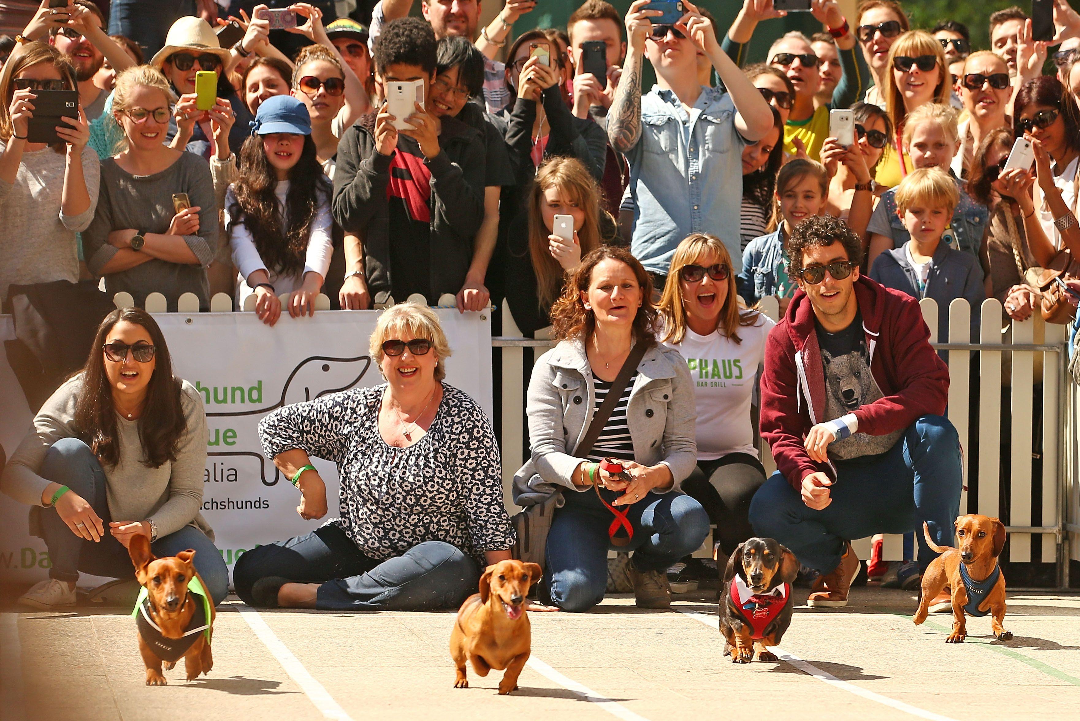 Dachshund dash inaugural running of the wieners race in