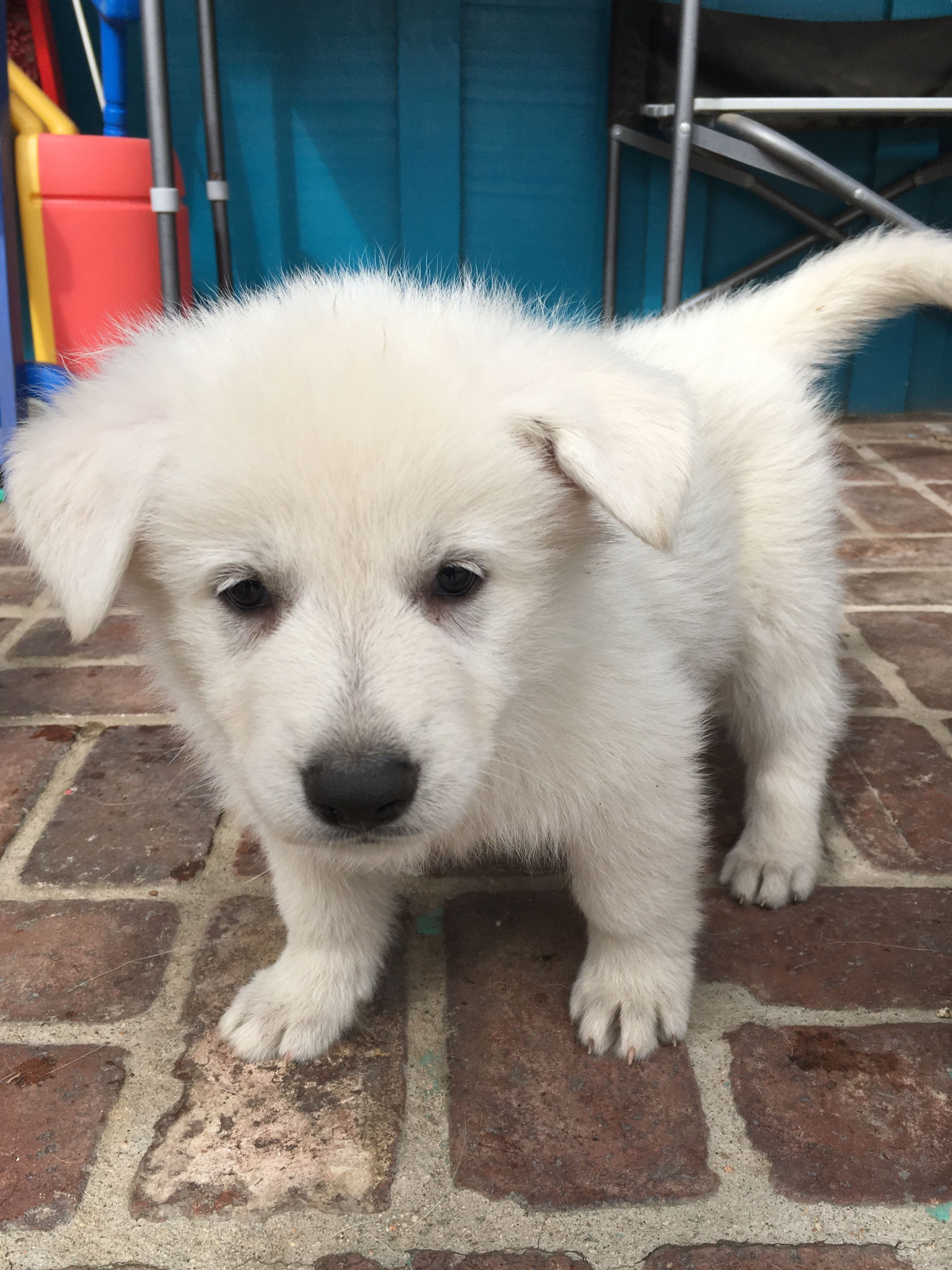 Orange Girl A Ukc White Shepherd Puppy For Sale In Fullerton Ca