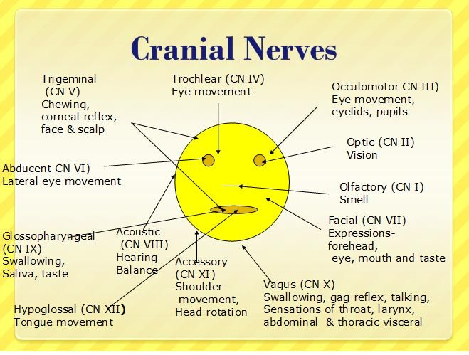 Mnemonics for Cranial Nerves | ... ://www.nursereview.org/2008/09/12 ...