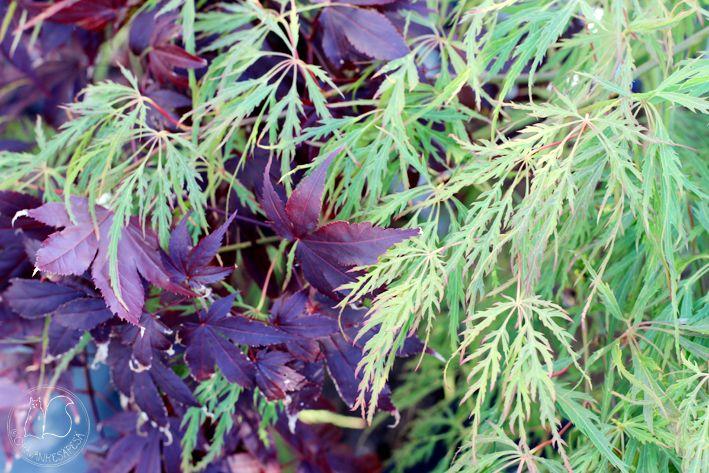 Oravankesäpesä | Japninverivaahtera Acer palmatum 'Atropurpureum' ja japaninvaahtera 'Dissectum'