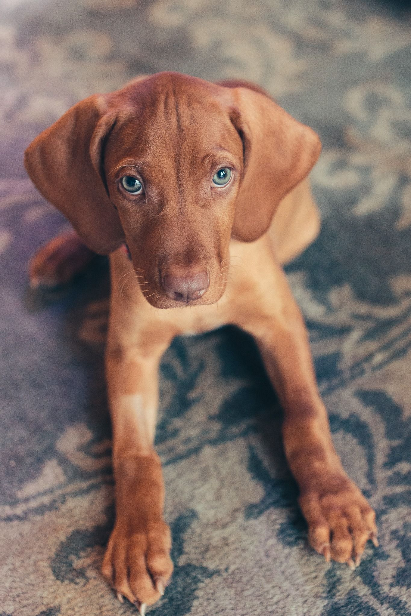 Laszlo Celebrates His 1 Week New Home Anniversary R Aww Vizsla Puppies Vizsla Dogs Dogs