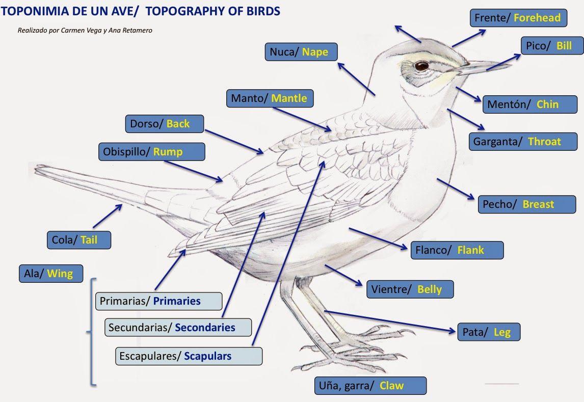 Partes del ave   ave partes   Pinterest   Las aves y Ave