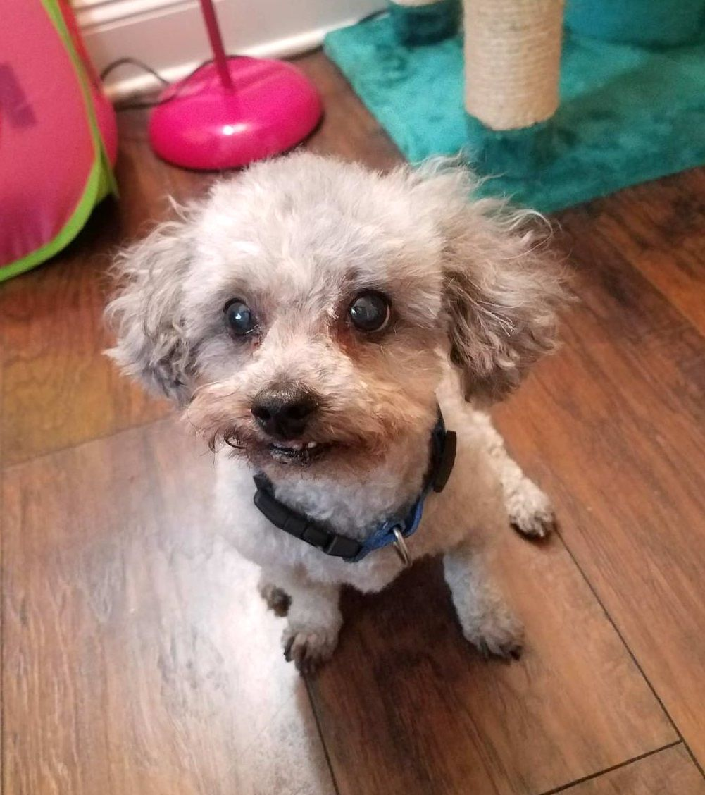 Poodle (Toy) dog for Adoption in Royal Palm Beach, FL. ADN
