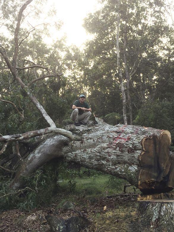 Harvesting Koa Logs On The Big Island Of Hawaii Hearne