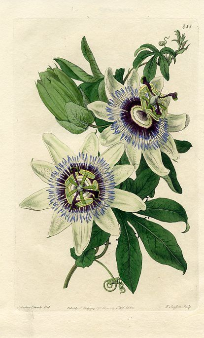 Common Passionflower Flower Illustration Botanical Illustration Flower Art