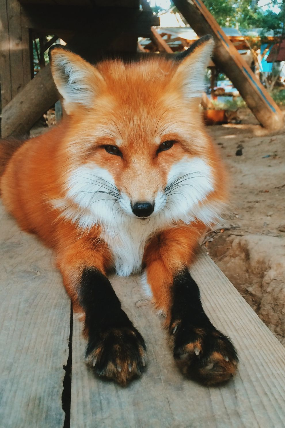 Zao Fox Village in japan! This adorable village of fluffy vulpines is home to 6 different species of fox.   Zao Fox VIllage in Miyagi, Japan