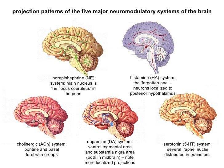 Overview of pathways of the five major Neurotransmitters in the ...