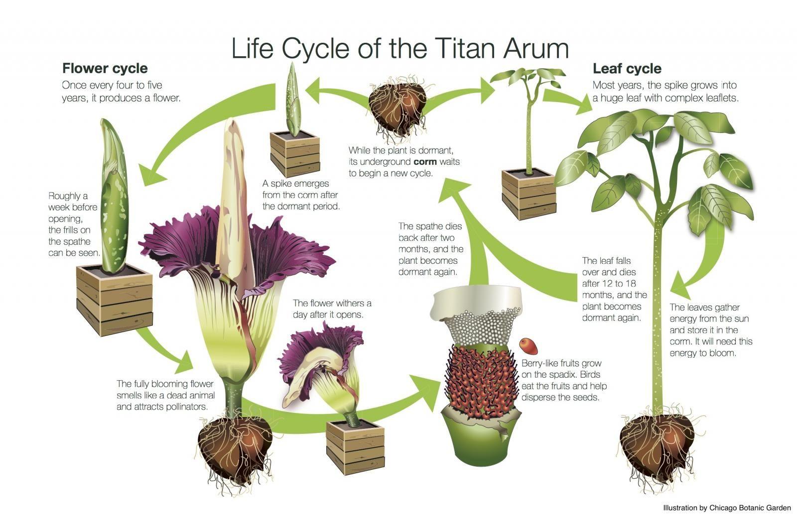 United States Botanic Garden Corpse Flower Titan Arum Amorphophallus Titanum