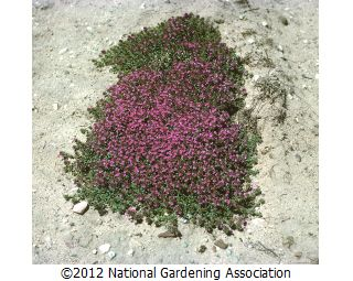 Crimson Thyme (ground cover!) Thymus serpyllum coccineus for top of stepping stones by rose bud