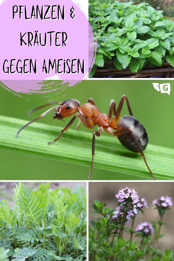 Pflanzen Und Krauter Gegen Ameisen Welche Vertreiben Sie Ameisen Vertreiben Ameisen Im Garten Und Ameisen