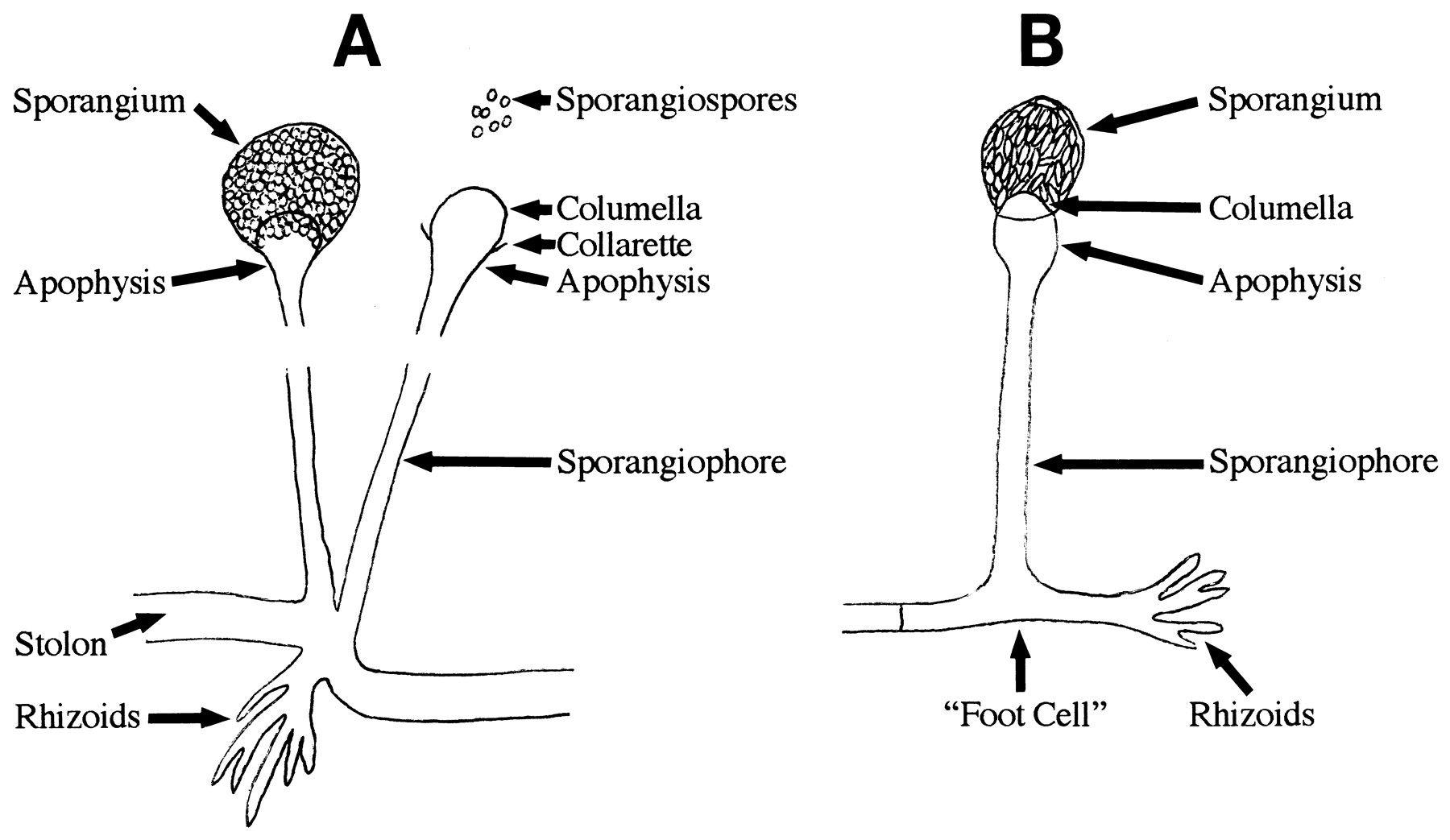 Image Result For Mucor Columella Sporangium