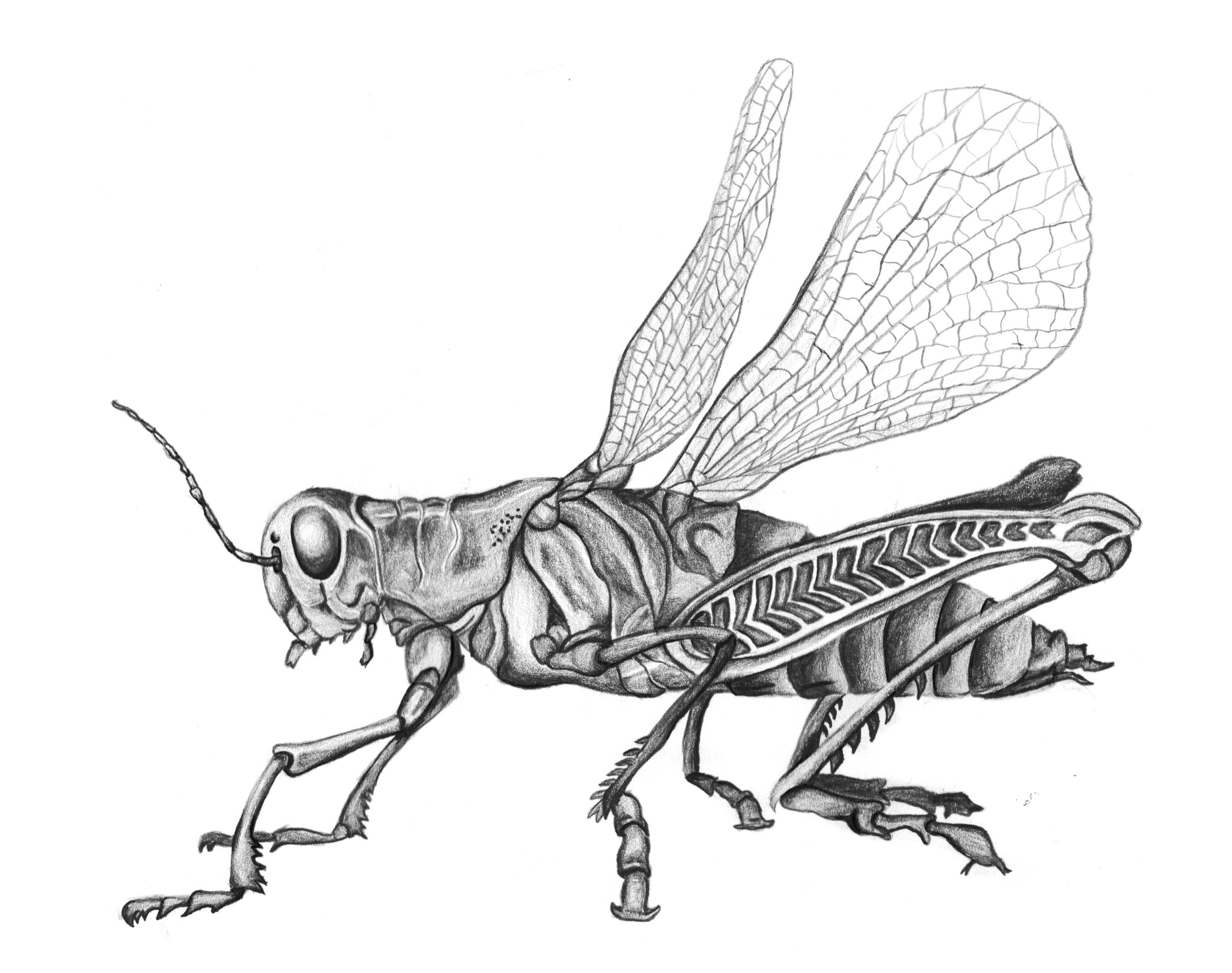 Grasshopper pencil drawing black and white insect sketch drawings
