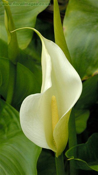 Callia Peace Lily Amazing Flowers Pretty Flowers