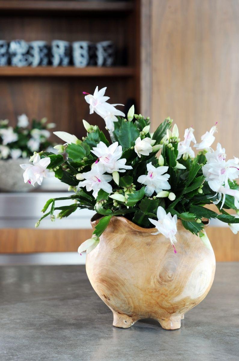 Декабрист (цветок): уход в домашних условиях http://happymodern.ru/dekabrist-ukhod-v-domashnikh-usloviyakh/ Восхитительные белые бутоны шлюмберга