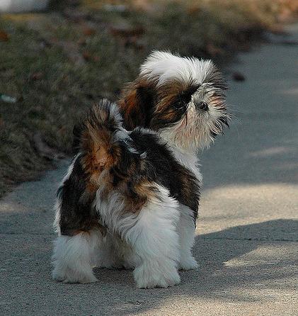 Shih Tzu Fever Shih Tzu Shih Tzu Puppy Puppies