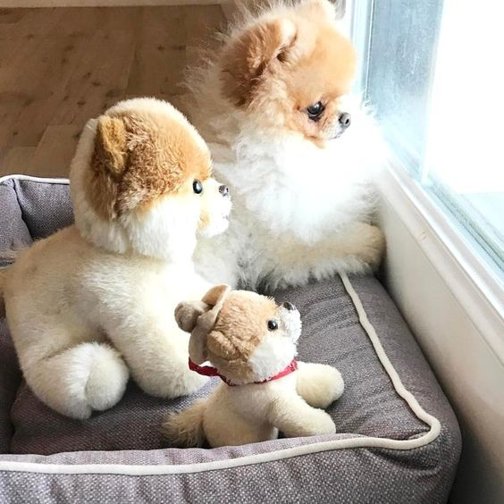 Pomeranian Puppies: Facts And Adorable Pictures #teacuppomeranianpuppy