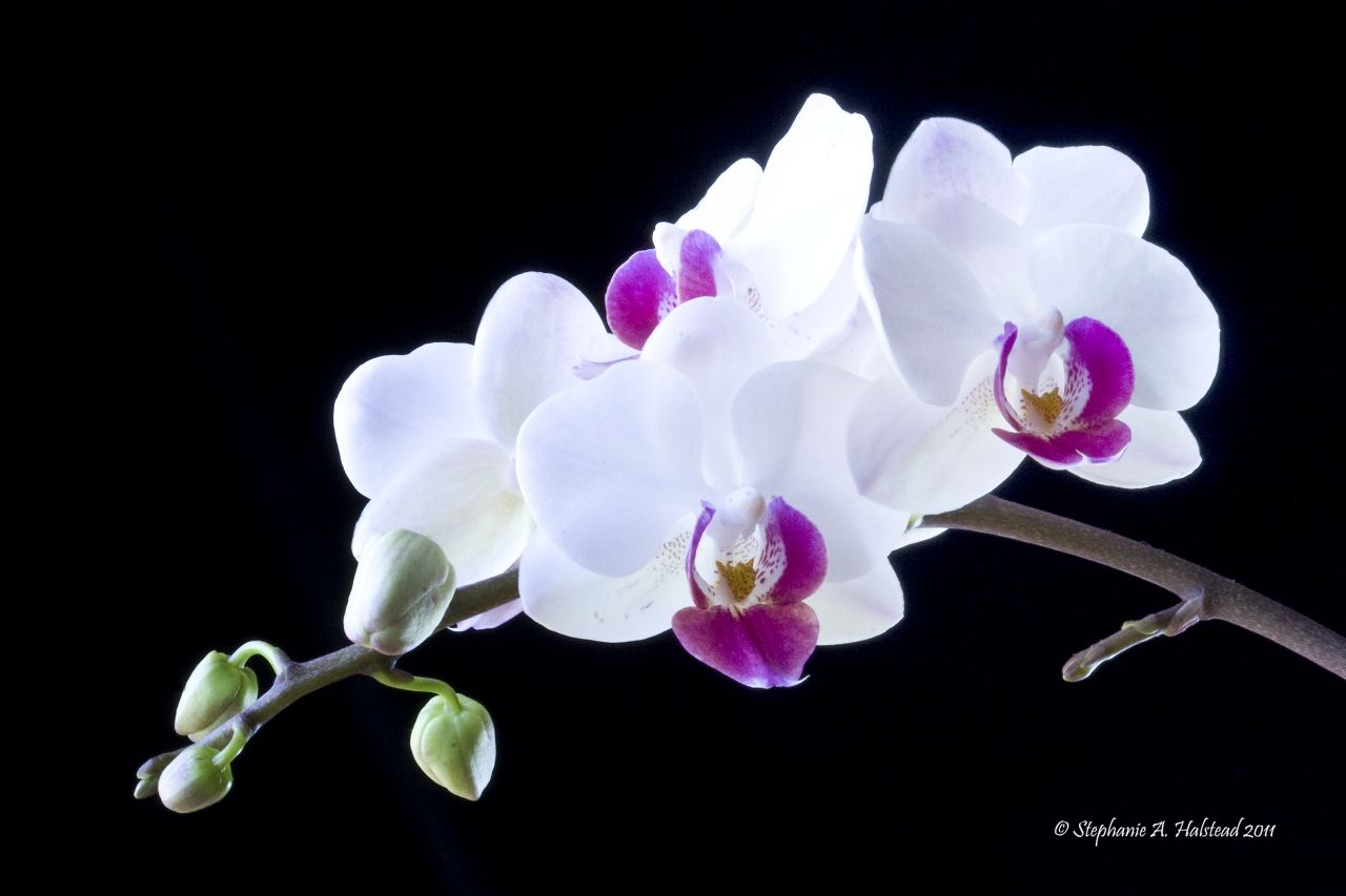 Posts About Orchids On A Second Look Orchids Phalaenopsis Orchid White Orchids