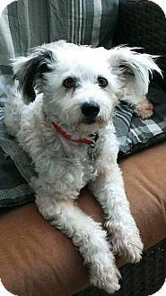 San Diego, CA - Poodle (Miniature) Mix. Meet Farah, a dog for adoption. http://www.adoptapet.com/pet/11885317-san-diego-california-poodle-miniature-mix