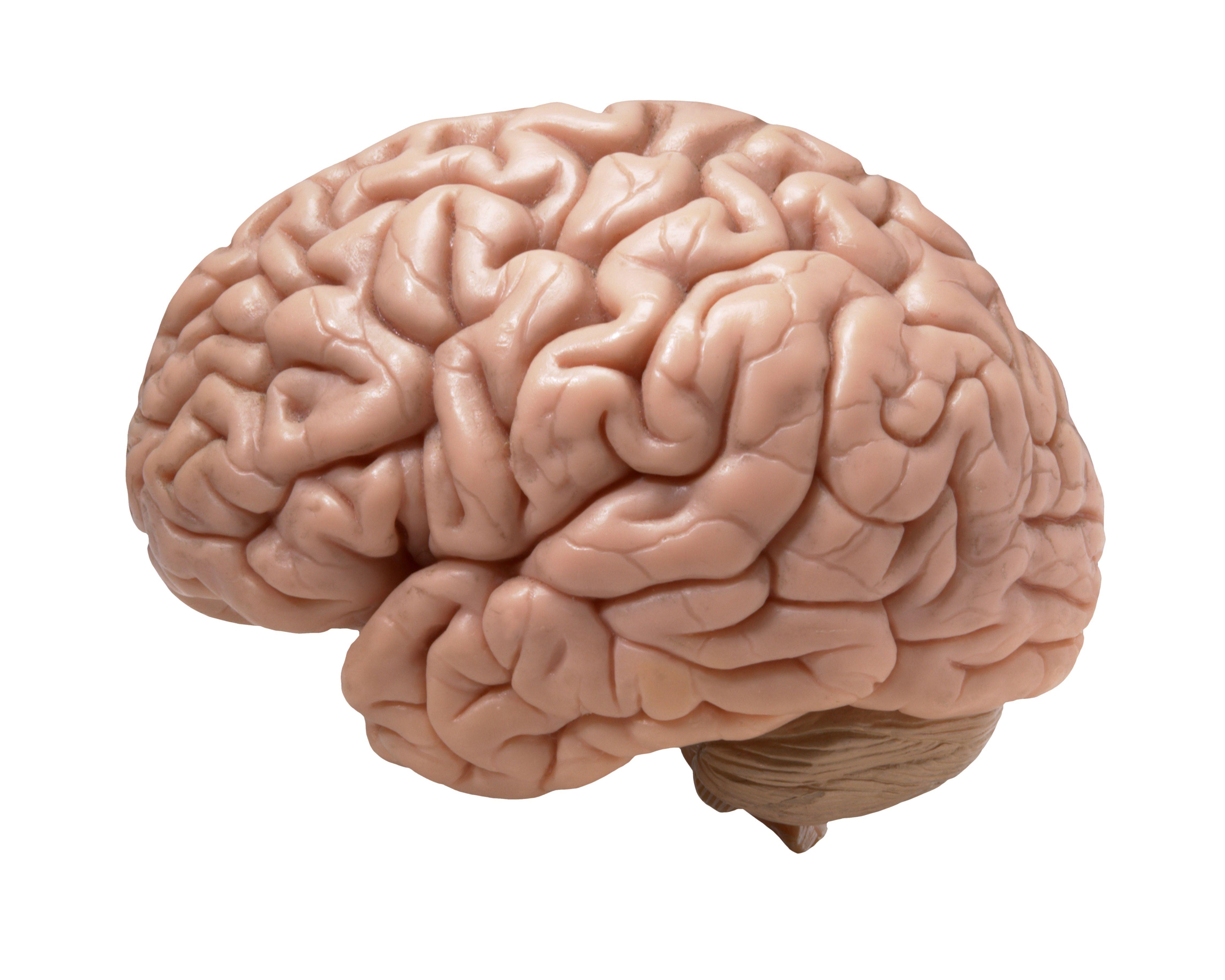 human brain on white background science brain, brain diseases
