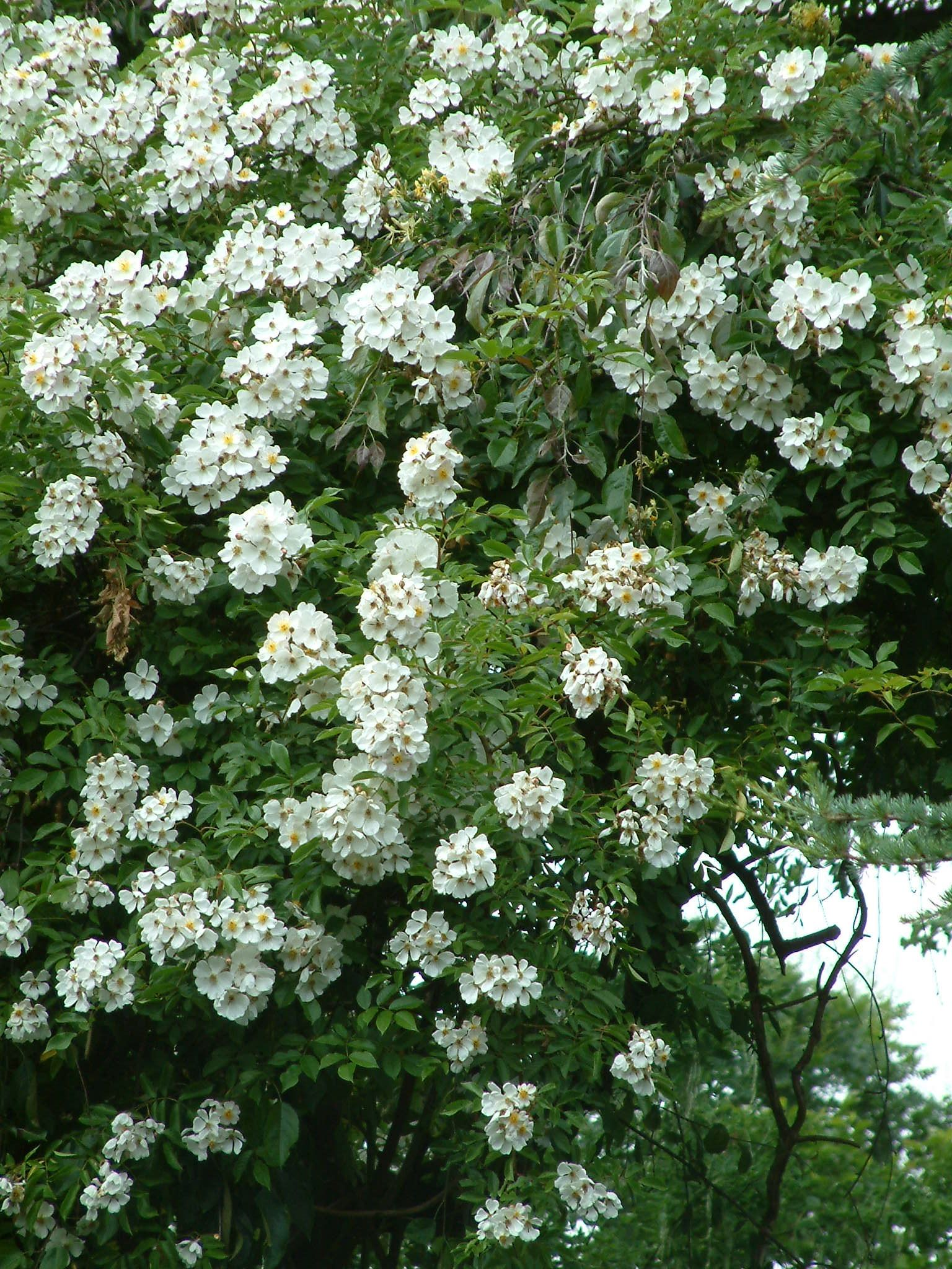 Rosa Brunonii Betty Sherriff A Vigorous Rambler With Masses Of