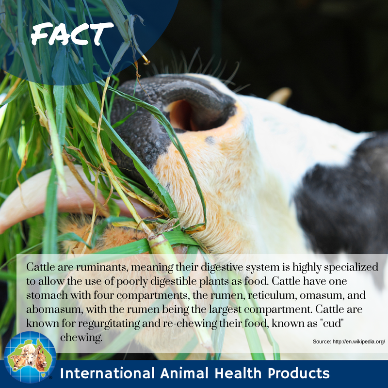 Cattle are ruminants, meaning their digestive system is